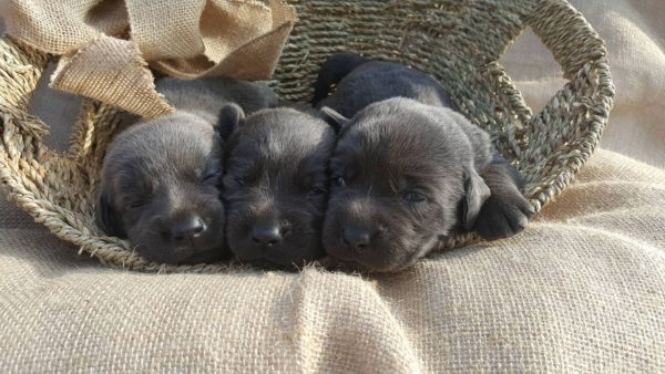 Best Chocolate Lab Breeders In Texas