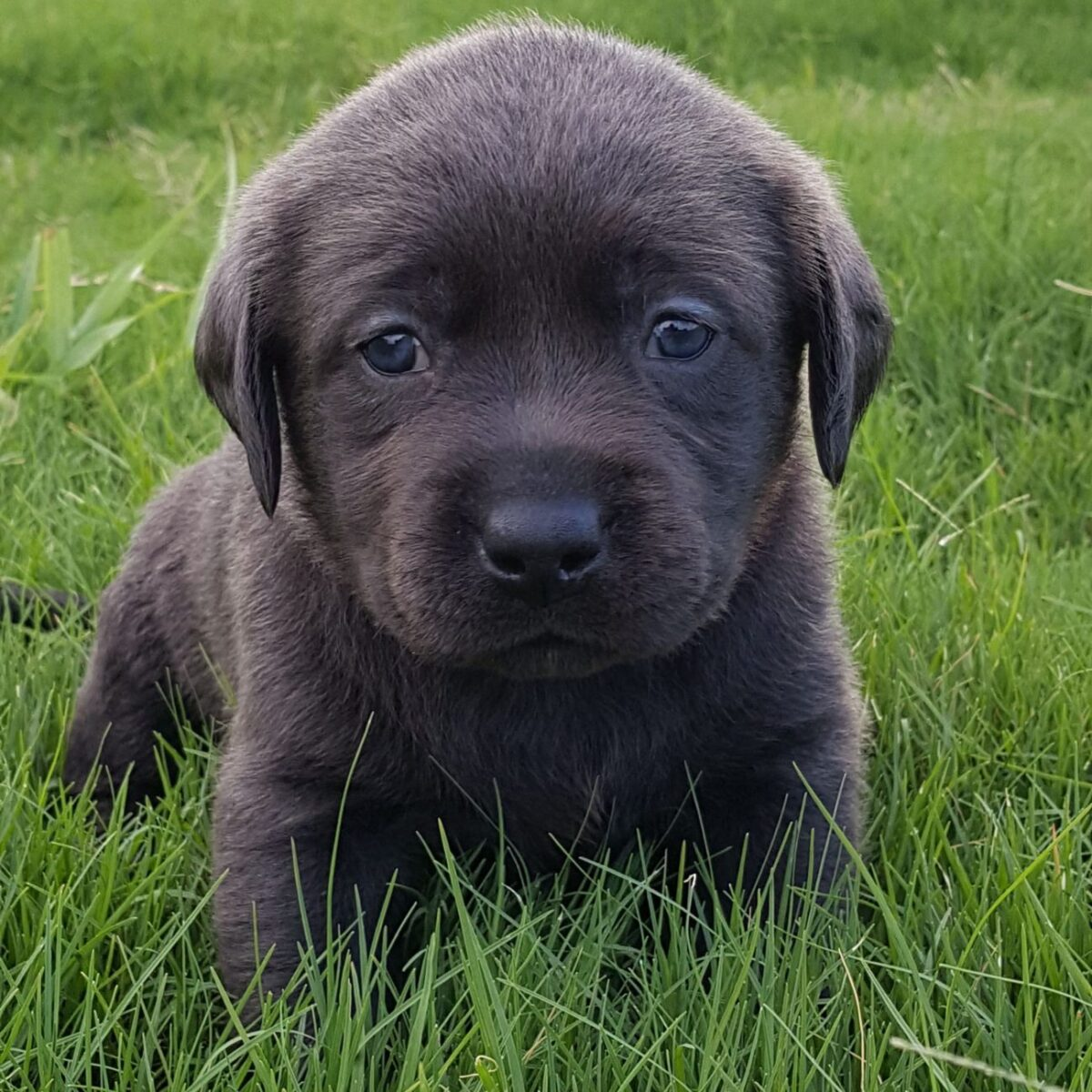 CHARCOAL LABRADORS | AKC Registered Labradors North Texas