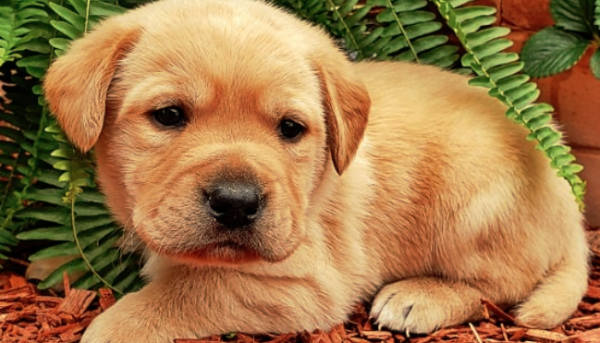 best yellow lab breeder texas