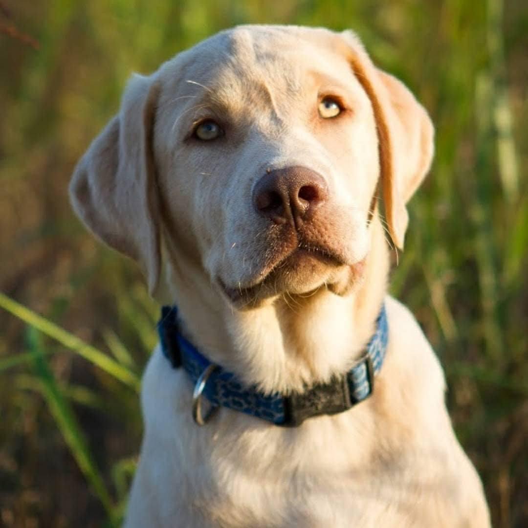 Champagne Labradors Akc Registered Labradors North Texas