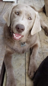 silver lab breeder texas