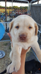 Yellow lab puppy breeder Texas