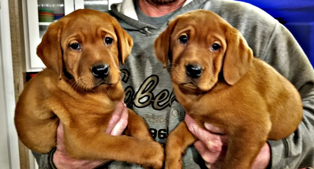 Fox Red Lab Puppies For Sale Texas Akc Registered Labradors North