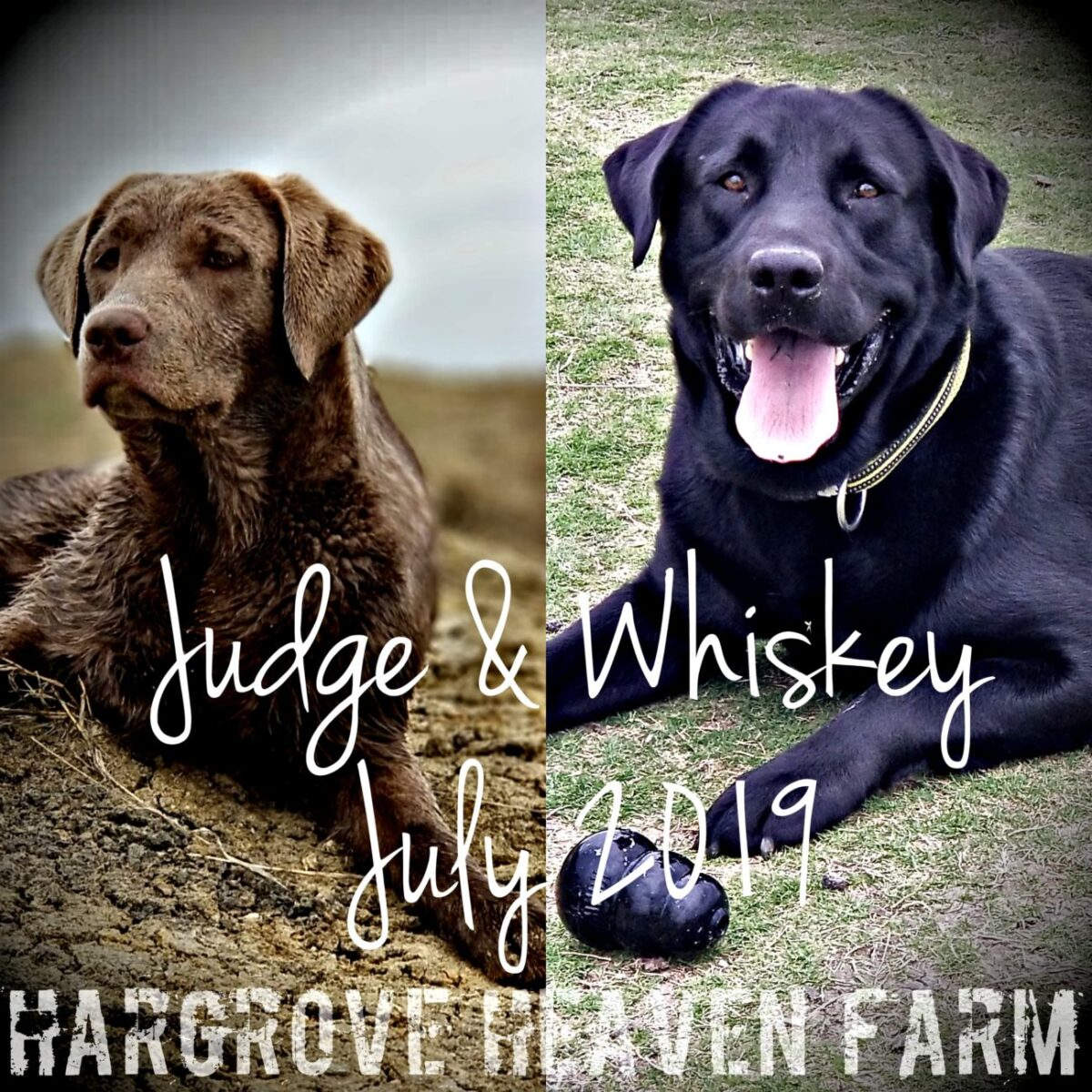 Lab Puppies for sale in Texas | AKC Registered Labradors