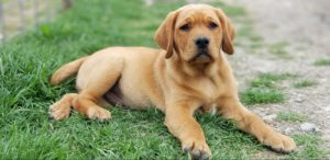 FOX RED LABRADOR BREEDER TEXAS | AKC Registered Labradors North Texas